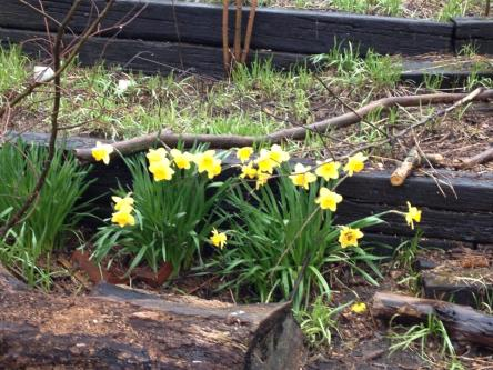The beautiful daffodils that bloomed just days after the flood.